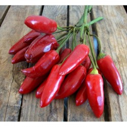Calabrian chili pepper seeds