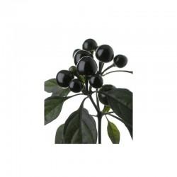 Dried Black Pearl
