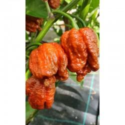 Carolina reaper caramel seeds