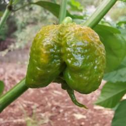 Carolina Reaper Mustard seeds